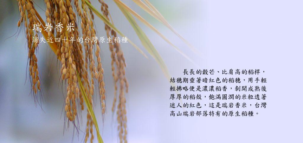 瑞岩香米消失近四十年的台灣原生稻種